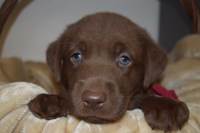 AKC Chocolate Male Labrador Retriever Puppies available January 25, 2017 and later Labrador Retriever for sale/adoption