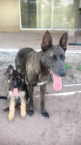 German Shepherd Dog Puppy Dog For Sale In Lehigh Acres Florida