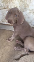 Weimaraner Puppy Weimaraner for sale/adoption