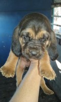 Akc bloodhounds ready for christmas Bloodhound for sale/adoption