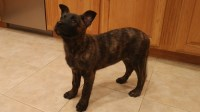 Dutch Shepherd puppies for sale German Shepherd Dog for sale/adoption