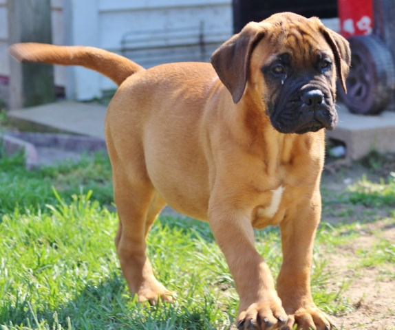 Bullmastiff Puppy Dog For Sale In Cheektowaga New York