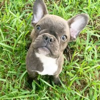 French Bulldog Puppies And Dogs For Sale In Texas