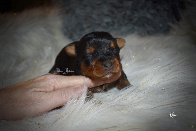 Yorkshire Terrier puppy for sale + 55185