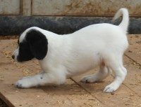 English Setter Puppies - FDSB - Championship Boodlines English Setter for sale/adoption