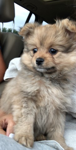 Pomeranian puppy for sale + 60740