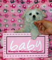 CH. Lines Female Maltese Puppies Maltese for sale/adoption