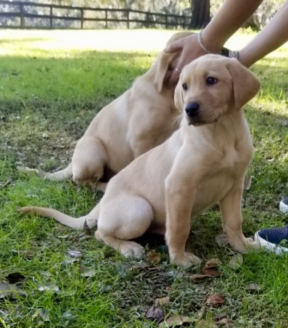 Labrador Retriever puppy for sale + 45483