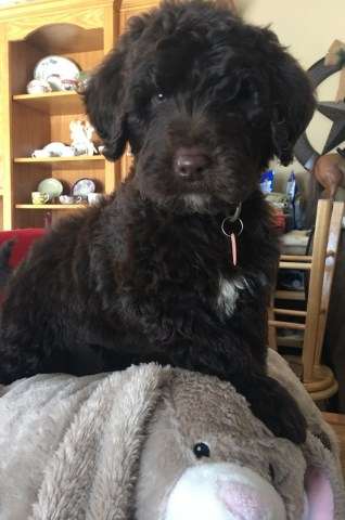 Poodle Standard Puppy Dog For Sale In Pequot Lakes Minnesota
