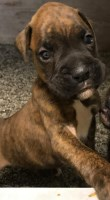 APR registered boxer puppies for sale Boxer for sale/adoption