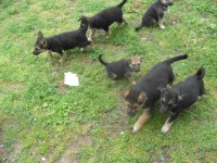 German Shepherd with small amount of Wolf German Shepherd Dog for sale/adoption