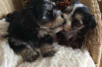 Cute little Morkies for sale Morkie for sale/adoption