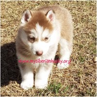 Maverick-Red/White Male Available! Siberian Husky for sale/adoption
