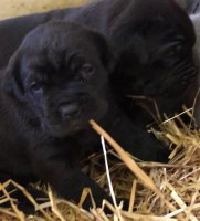 Cane Corso Dogs and Puppies for Adoption