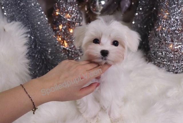 Maltese puppy dog for sale in Nigeria