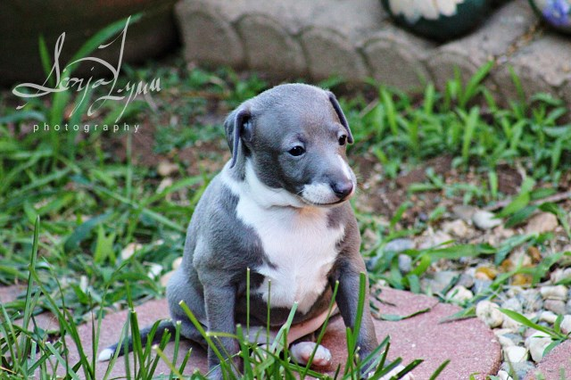 Italian Greyhound Puppy Dog For Sale In Sacramento California