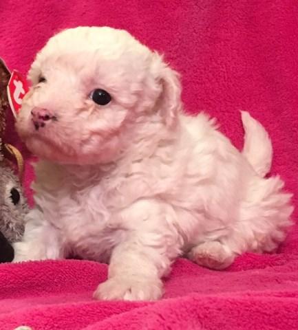 Yorkipoo Puppy Dog For Sale In Pueblo Colorado