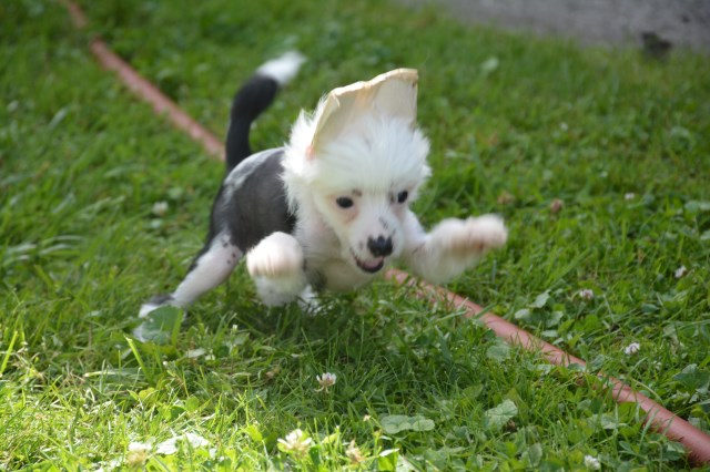 Chinese Crested puppy for sale + 53112