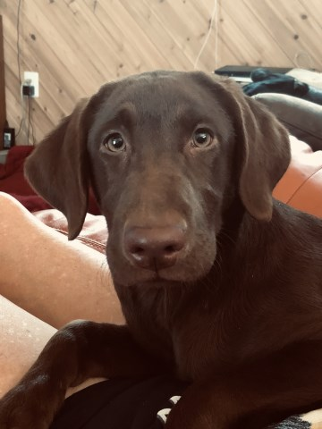 READY NOW!! Chocolate Female Labrador Retriever Puppies For Sale