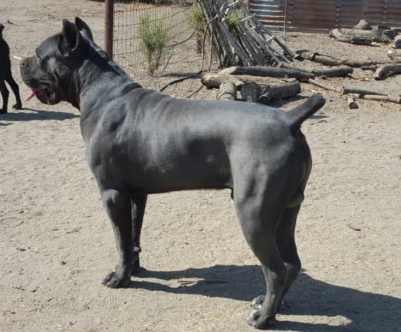 Cane Corso Puppy Dog For Sale In Porterville California