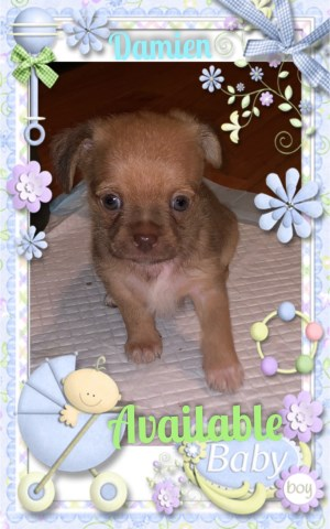 Registered TeddyBear ShiChi Puppies Available