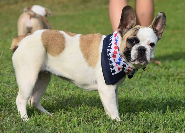 French Bulldog puppy for sale + 53121