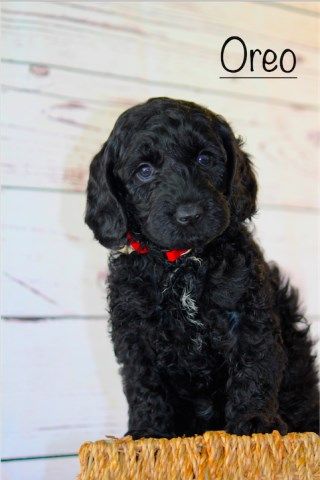 Labradoodle puppy dog for sale in Waco, Texas