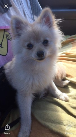 Pomchi puppy for sale