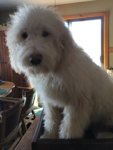 Great Pyrenees Puppy Dog For Sale In Pequot Lakes Minnesota