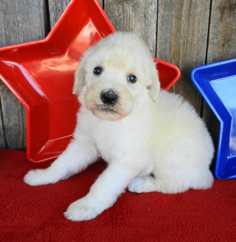Old English Sheepdog puppy dog for sale in Aspermont, Texas