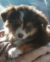 Australian Shepherd Dog Dogs and Puppies for Adoption
