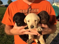 AKC Registered Chocolate, Black, and Yellow Labs Labrador Retriever for sale/adoption