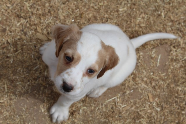 English Setter Puppy Dog For Sale In Fort Collins Colorado