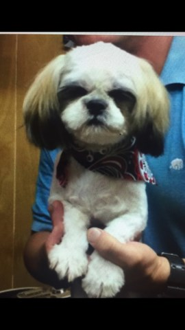 Shih Tzu Puppy Dog For Sale In Nacogdoches Texas