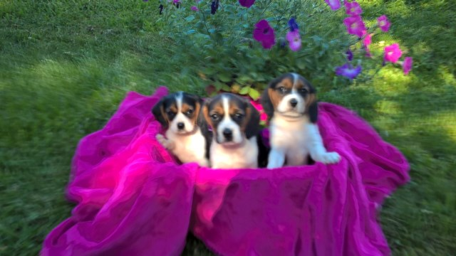 Beagle puppy for sale + 49684