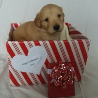 Golden Retriever Puppies - Born 12/26/17 - Ready on or after 2/6/18 Golden Retriever for sale/adoption