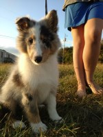Undertale Litter Shetland Sheepdog for sale/adoption