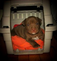 Future breeding Spring 2017 American Pit Bull Terrier for sale/adoption