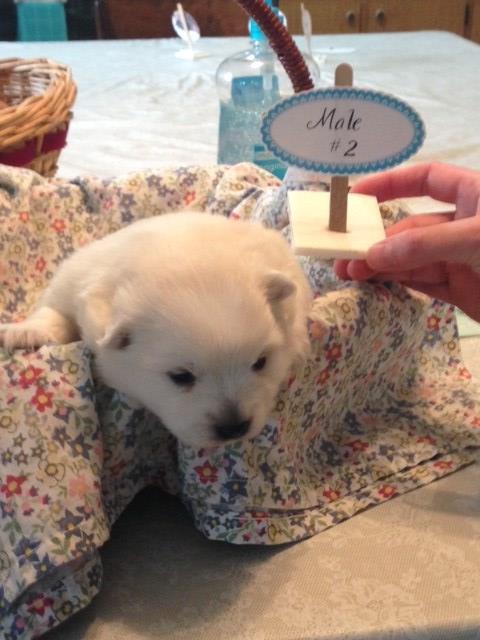 Japanese Spitz puppy dog for sale in Buffalo, Kentucky