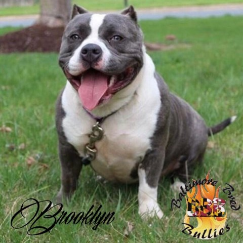American Pit Bull Terrier Puppies For Sale in Baltimore, MD