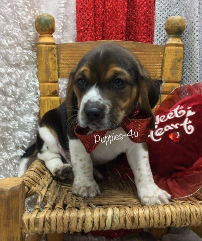 Rowdy registered male beagle