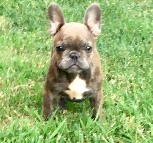 French Bulldog Puppy Dog For Sale In Tulsa Oklahoma