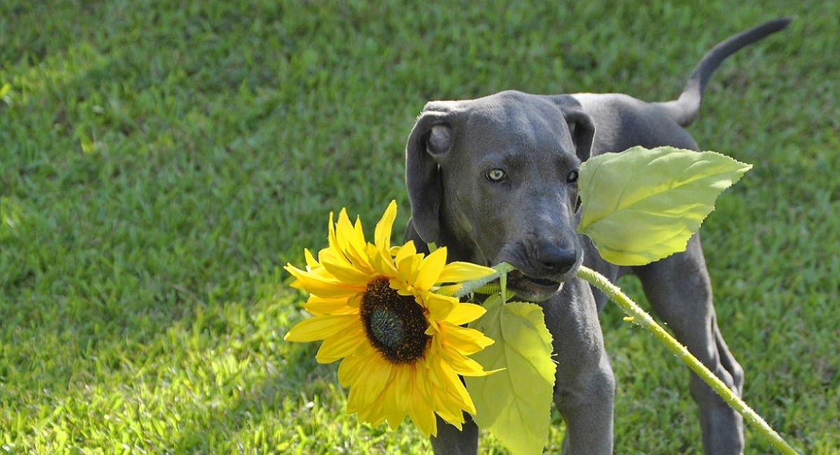 Great Dane puppy with sunflower in mouth.