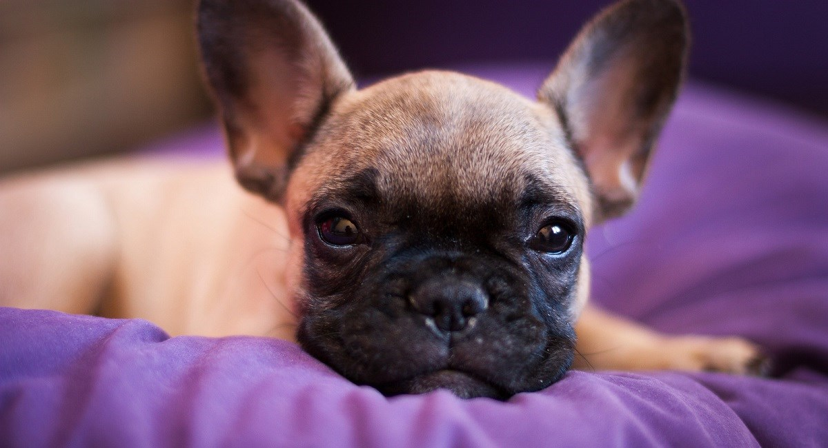 French Bulldog Puppy resting on a pillow