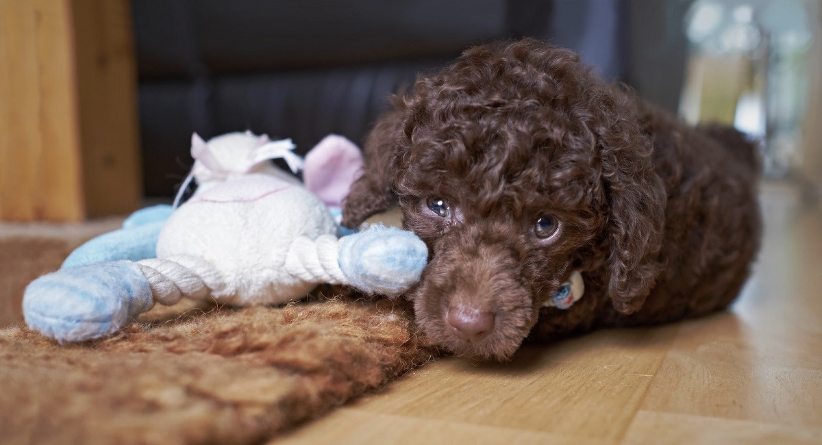 Brown Poodle puppy lying next to a doll