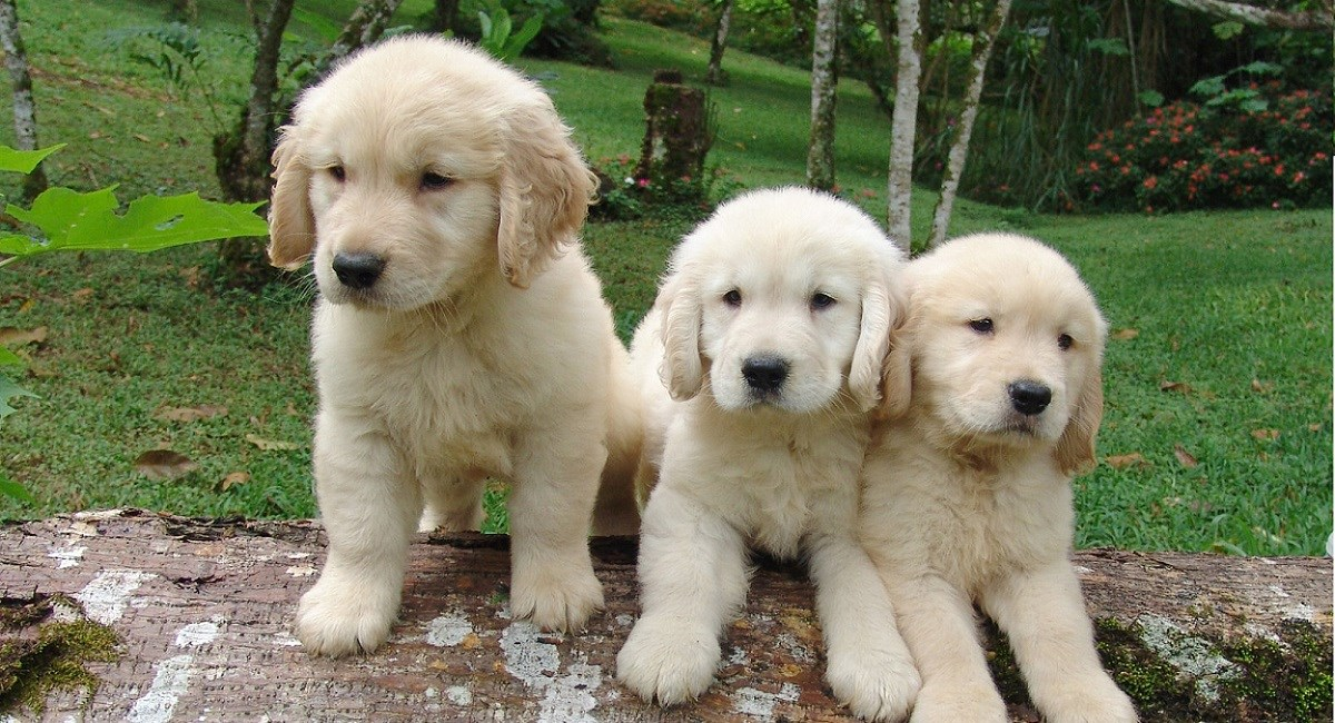 Golden Retriever puppies sitting on a log