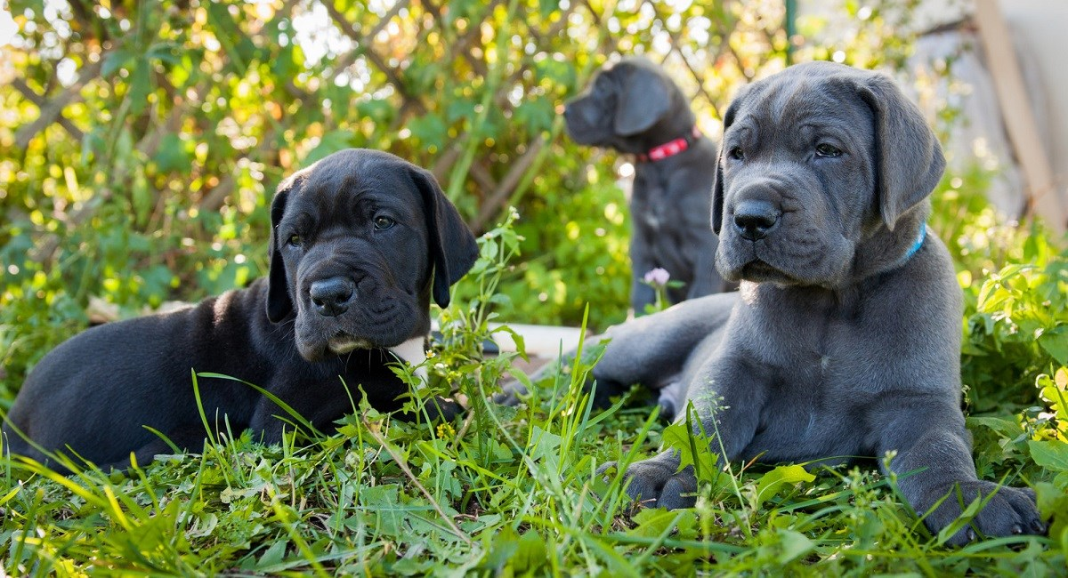 Three Great Dane Puppies sitting in the weeds