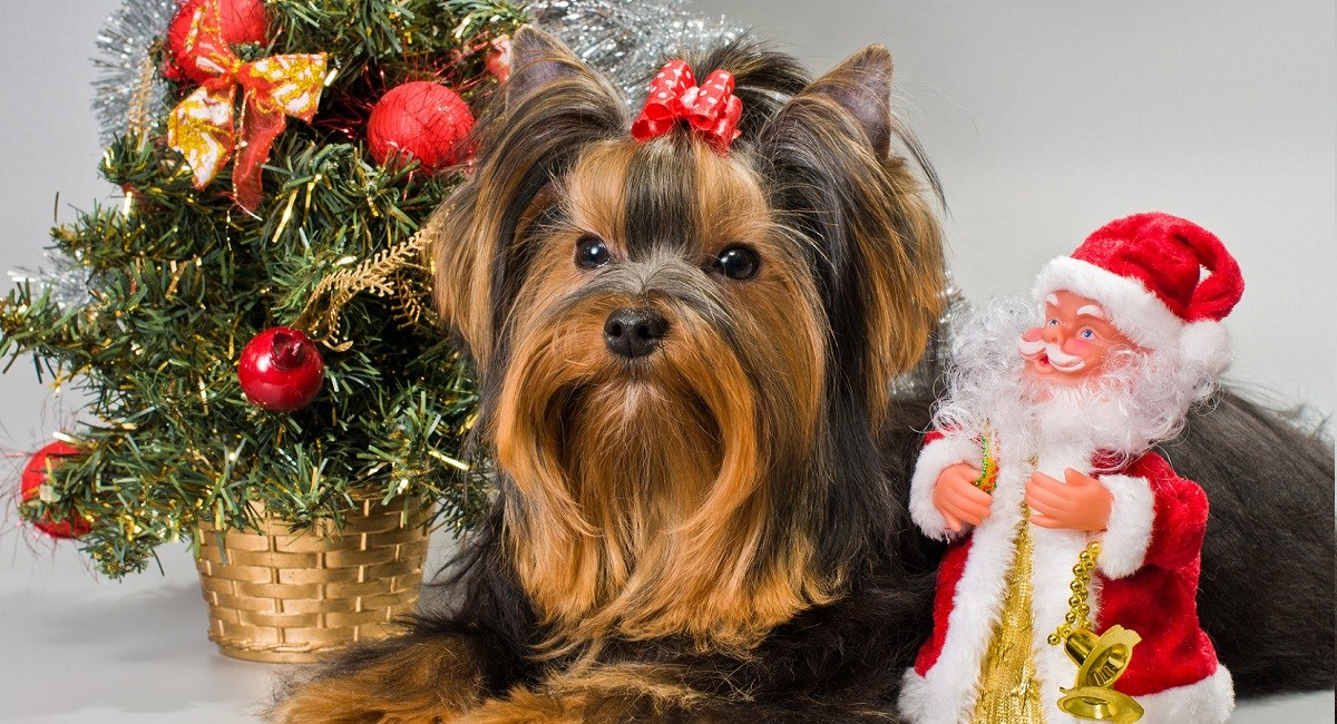 Yorkshire Terrier with minature Christmas tree