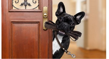 French Bulldog with leash waiting at the door