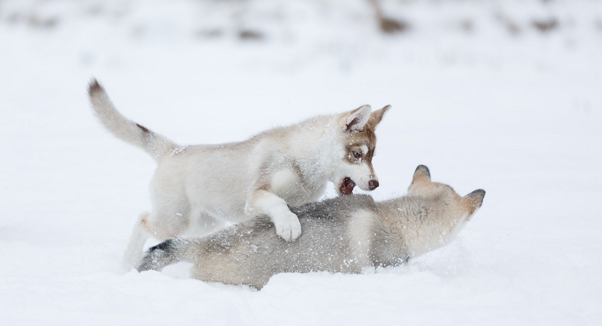 Two Siberian Husky puppies playing in the snow